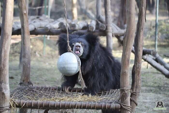 Gail's caregivers would smear honey on her enrichment ball and she would never be spotted away from it after that.