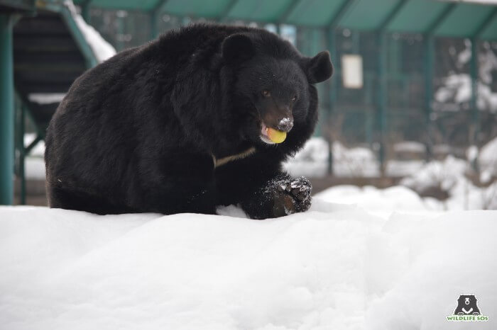 Our resident Asiatic Black Bear munches on some apricots in the snow.