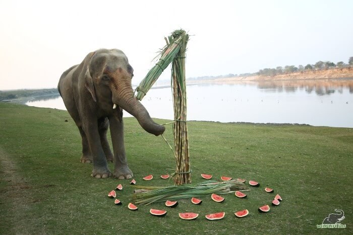 Karma munching on her feast organised by our elephant care staff.