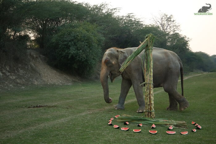The elephant care staff curated a feast and a structure for Karma.