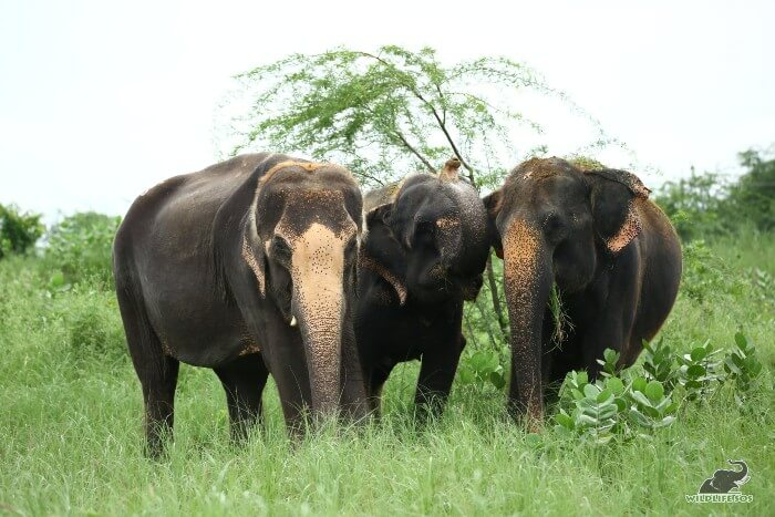 Karma, Holly an Kalpana (L to R) foraging on fresh green patches in the monsoon season.