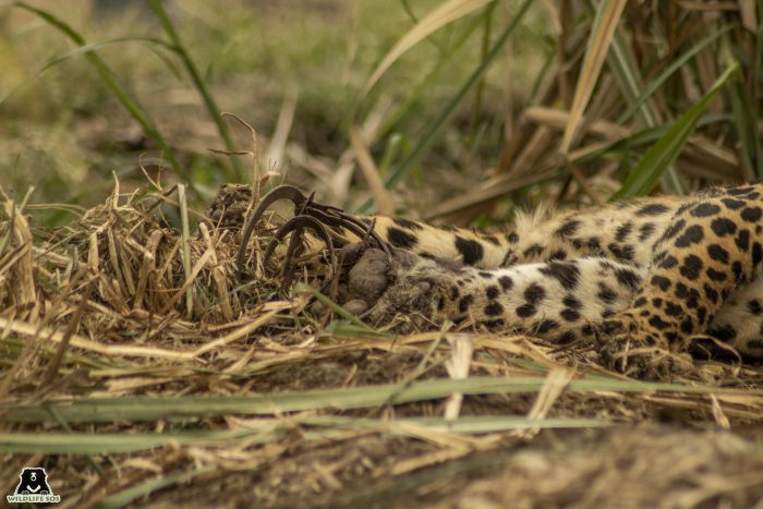 A three-year-old leopardess was found stuck in a jaw trap.
