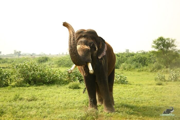 Rajesh trumpeting out to his caregiver on his evening walks for treats!
