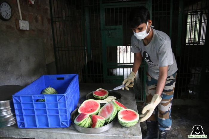 Watermelon is one of the most preferred fruits for the bears at our rescue centres.