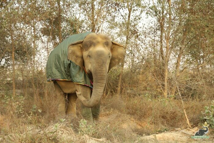 Our oldest female elephant at ECCC covered with a jumbo jacket, while on walks.