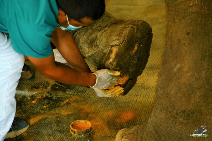 Turmeric is an essential component in the treatment of our elephants.