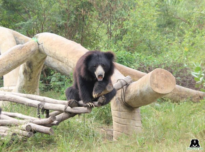 Bamboo enrichments are a common favourite at our bear rescue centres!