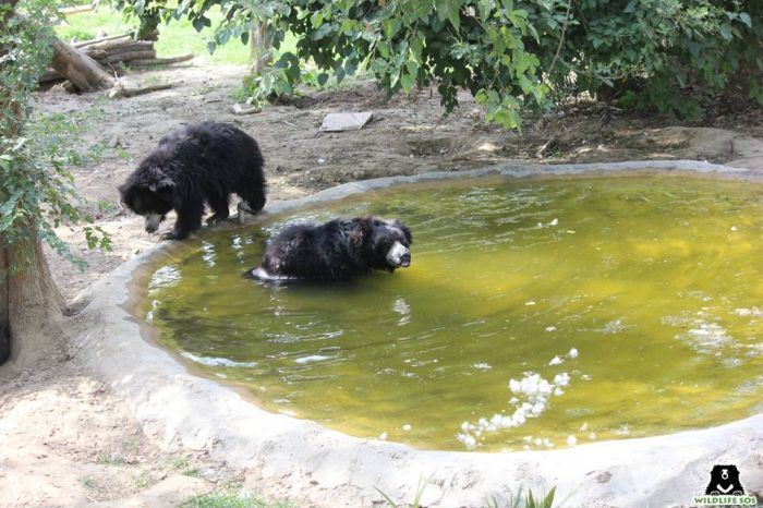The bears enjoying the clean pools after the cleaning.