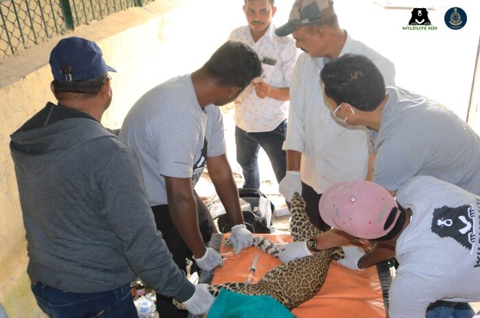 Wildlife SOS veterinary team rendering treatment to the ailing leopard cub.