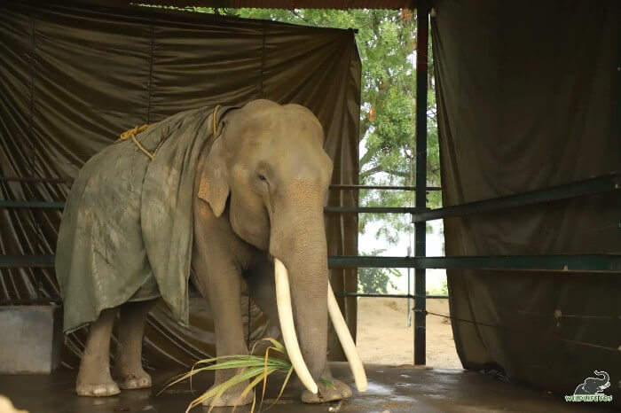 Our magnificent Suraj is kept warm with the jumbo jacket and rests in his covered enclosure.