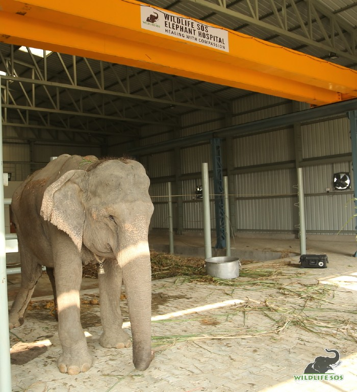 Holly was the first patient of the Wildlife SOS Elephant Hospital.