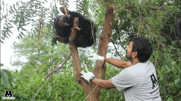 Dr Sha rescuing a sloth bear stuck in a snare trap.