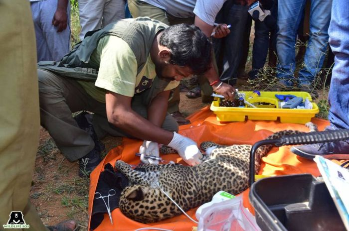 Dr Arun has treated many species including leopards over his association with WSOS.