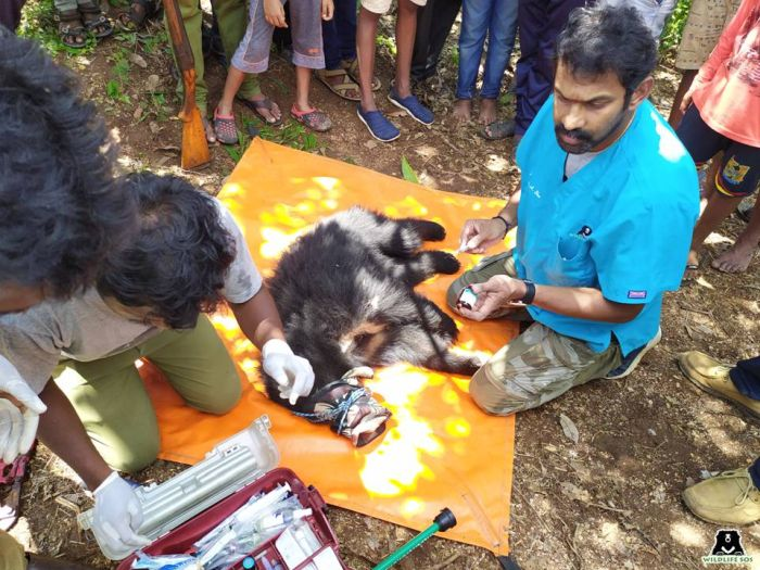 A sloth bear cub rescued and receiving onsite medical treatment in a village in the state of Karnataka.