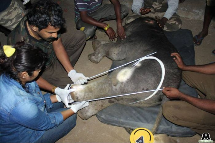 An elephant calf separated from its mother and herd provided some relief in a man-animal conflict situation by Dr Sha & his team.