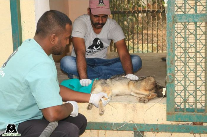 We administered anitbiotics and fluid therapy to treat the jackal's stomach infection.