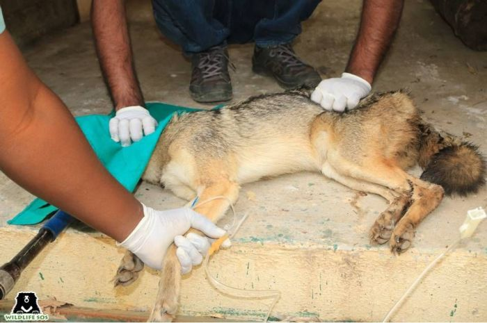 The Jackal was found to be suffering from a stomach infection