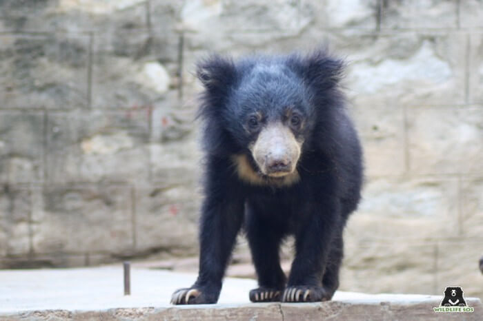 Kuber, only a few days, after he was rehabilitated at the Wildlife SOS Bannerghatta Bear Rescue Centre.