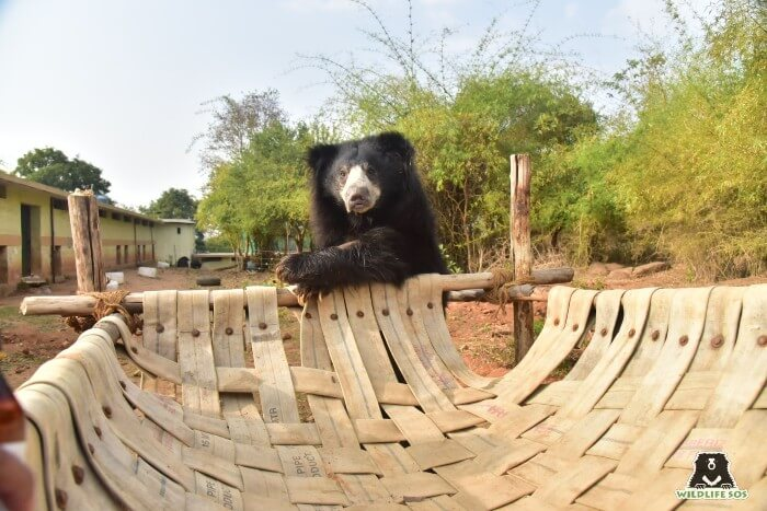Kuber claiming his territory on his favourite hammock enrichment!