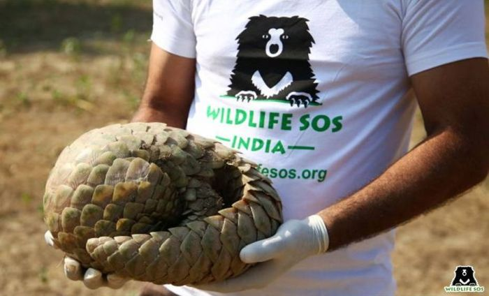 Pangolins roll up in self-defence when touched - an action that is a reference to its name.