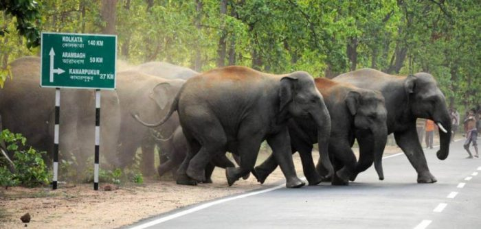 An elephant herd crossing hurriedly while onlookers get agitated.
