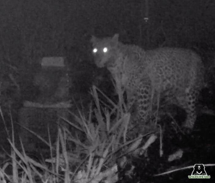 Mother leopard spotted getting her cubs back!