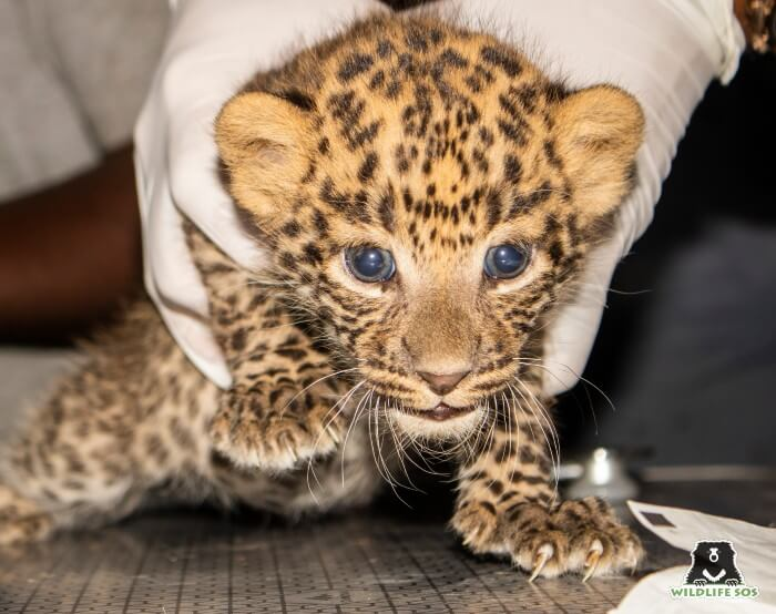 The leopard cubs were approximately 8 weeks old.