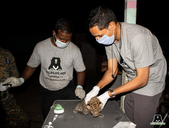 Wildlife SOS team conducted a thorough medical examination of the cubs.