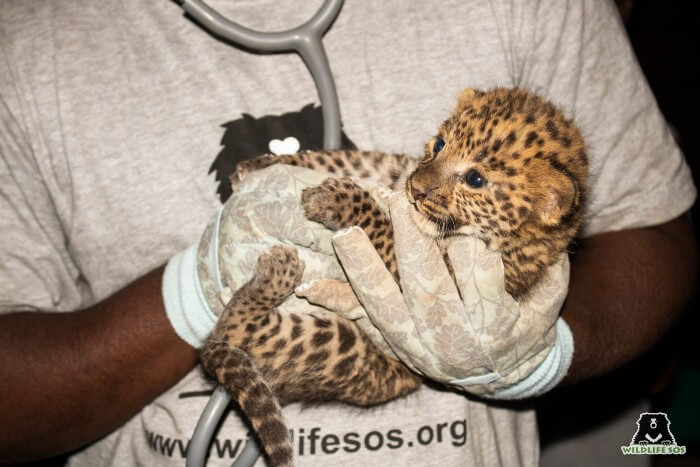 There were three leopard cubs found in the sugarcane field in a village in Maharashtra.