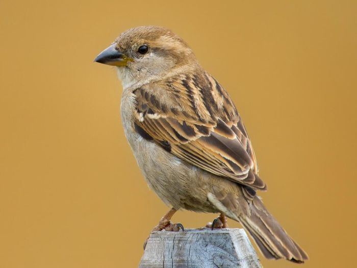 Differentiating between male & female sparrows: The top of a male's head is dark gray lined with streaks of vibrant chestnut, while a female's head (above) is more dusty brown in color.