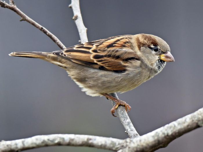 The House Sparrow has seen a massive decline in the past few decades.