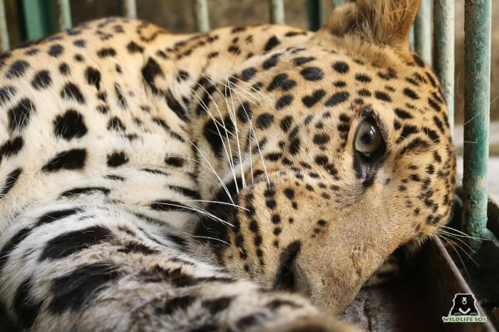 The leopard on the day it was rescued by Maharashtra Forest Department.