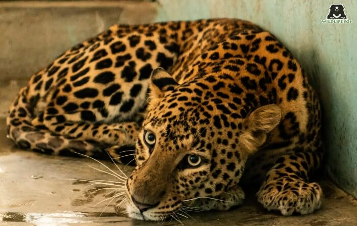 At the age of 8 years, the leopard was shortly going to enter his geriatric phase.