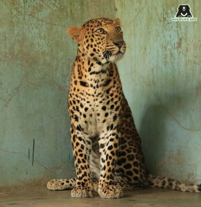 The leopard showed remarkable recovery under the care of Wildlife SOS.