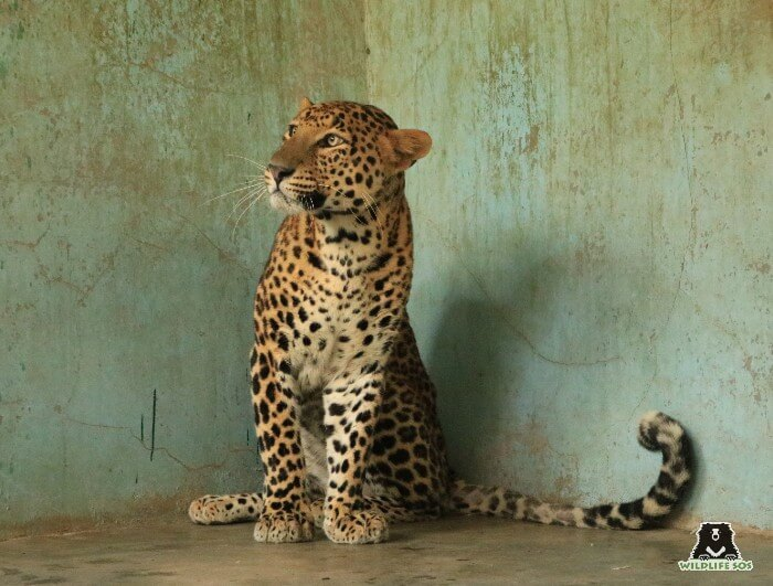 The rescued leopard, a few days after his treatment