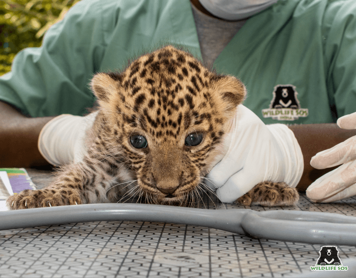 A quick medical examination deemed them fit to be returned to the wild.