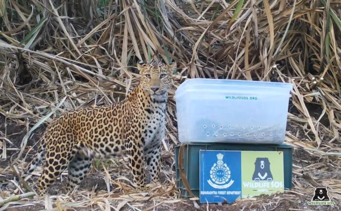 The mother leopard arrived within 20 minutes for her kids.