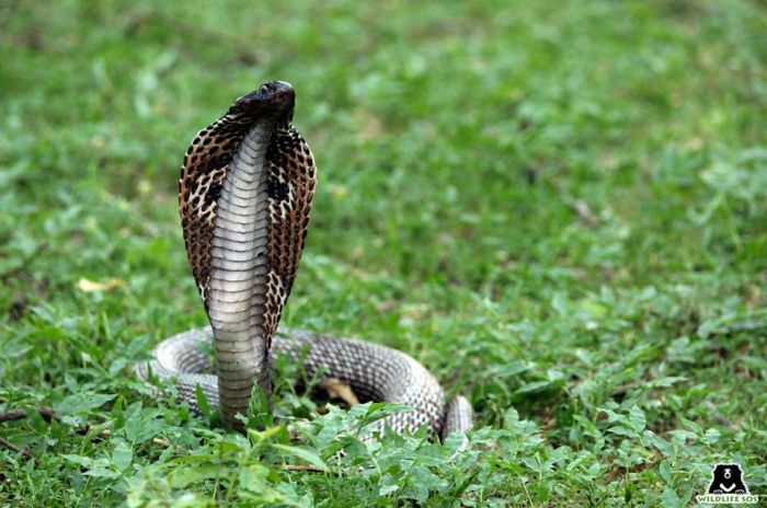 The cobra snake is another victim of the cruel snake charming practice which is a result of local superstition.