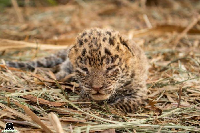 Leopard Cub Reunion: Farmers found a thirty-day-old leopard cub in a sugarcane field in Bori Salwadi village, Maharashtra