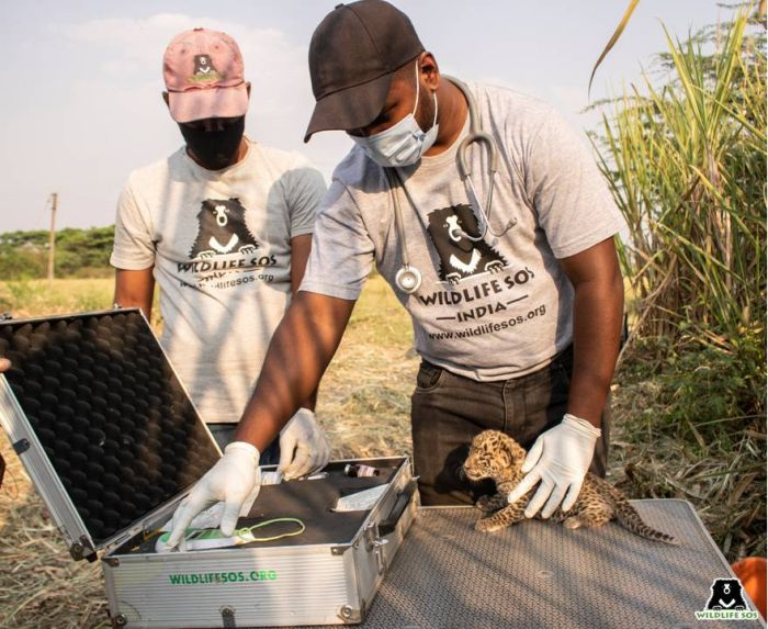 Leopard Cub Reunion: WSOS veterinary officer Dr. Nikhil Bangar conducted a meticulous on-site examination for ticks and injuries.