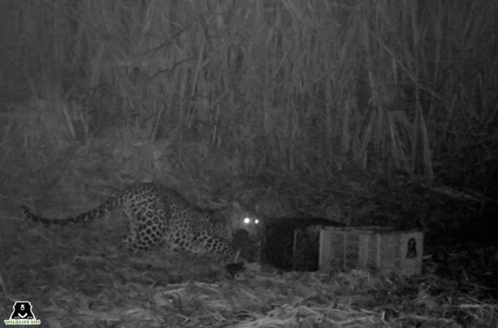 Leopard Cub Reunion: WSOS camera trap footage showed the leopard mother arriving to gather her cub