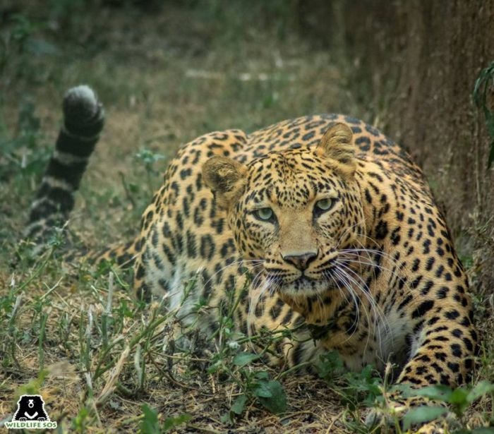Apart from man-animal conflict, leopards also face threats from superstition-driven beliefs that endanger their lives.