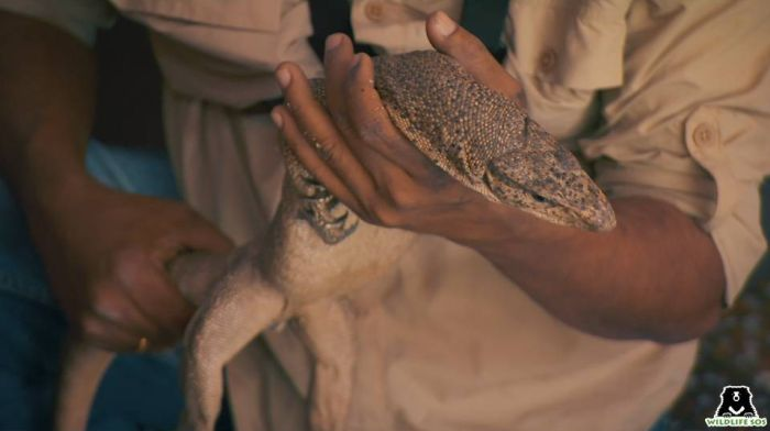 Monitor lizards are poached for their genitalia which are called hatha jodi and are considered an auspicious root.