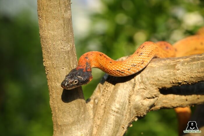 The Black-headed Royal Snake is a non-venomous snake species.