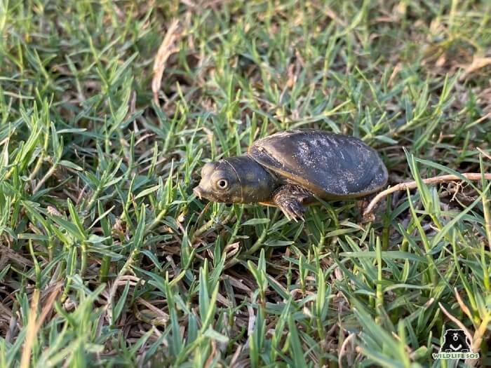 The Indian Soft Shell turtle is granted the same level of protection as the tiger or the elephant!