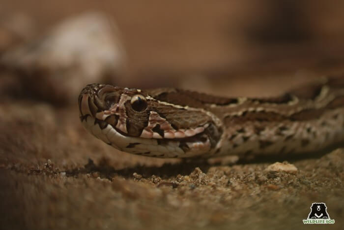 The Russel's Viper is a venomous snake species, protected by the Wildlife Protection Act, 1972.