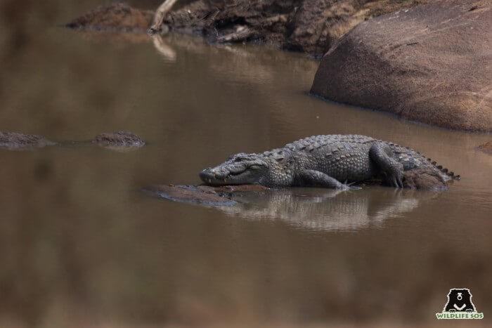 Our rescue teams in Agra and Gujarat rescue crocodiles from grave situations of conflict.
