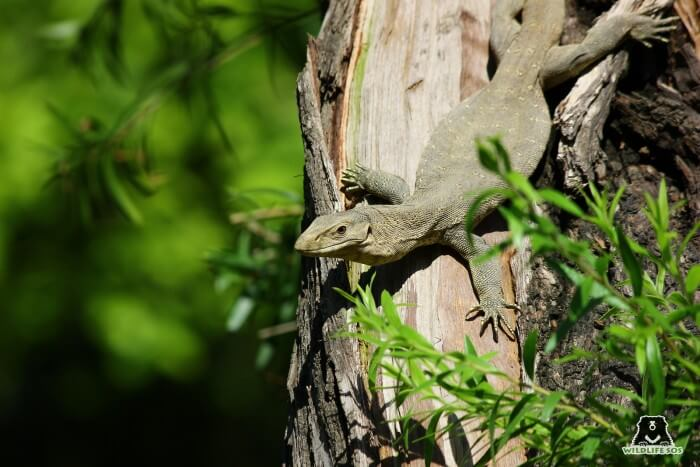 The poaching of Monitor Lizards for superstitious belief has led to rapidly dwindling population for them in the wild.
