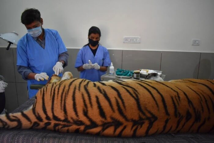 The tiger being treated by VVNP Veterinarian, Dr. Atul Gupta assisted by WSOS veterinarian, Dr. Pooja.