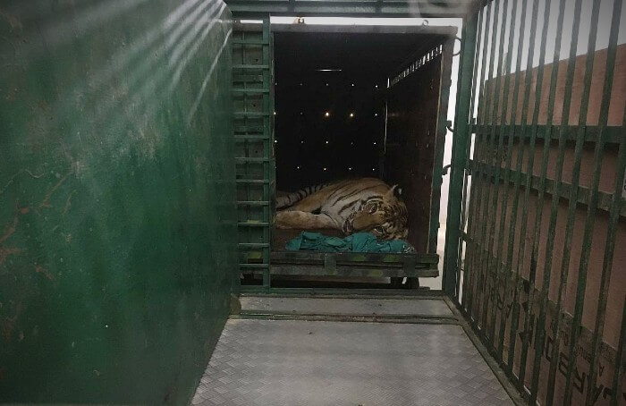 The wild tiger was seriously injured as a result of conflict with local communities.